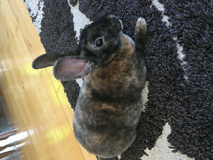 Beautiful Mini Rex Bunny