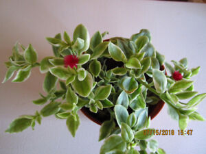 Mezoo Trailing Red - (Livingston Daisy) - Hanging Plant