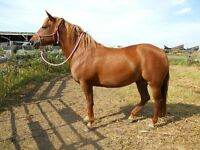 15 year old Mare for sale