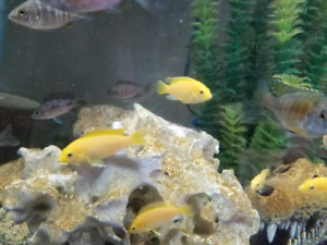 Electric Yellow African cichlids