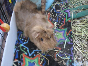 Guinea Pig - Beautiful colors & friendly - Includes everything!