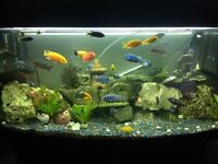 MALAWI FISH AND TANK FOR SALE
