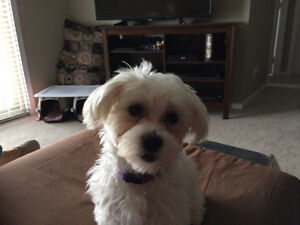 8 month spayed Maltese needs a loving home.