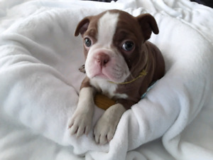 3 GEORGIOUS CHOCOLATE RED BOSTON TERRIER PUPPIES