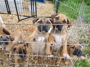 Presa Canario and bull mastiff mix pups
