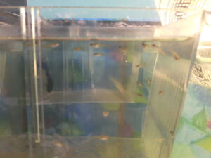 Guppie fry for sale