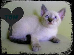 Lynx point Siamese ( Tom is the first pick of the litter)