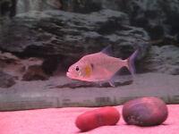 """Serrasalmus Manueli piranha 6""""--poisson,fish"""
