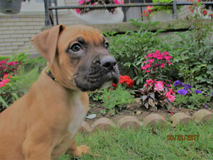 Pure Blood line Boxer Puppies 1 LEFT!!