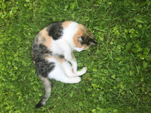 Found Calico Cat in Windsor NS