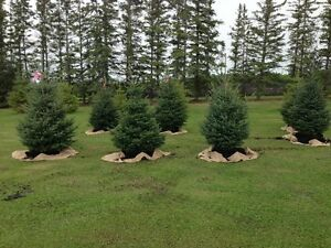 White Spuce Trees for Sale- 2ft- 8ft