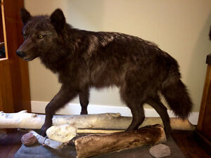 Life Size Mounted Wolf and Skull