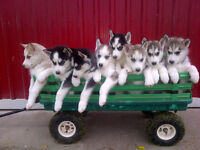 Purebred Siberian Husky Puppies Looking For New Homes