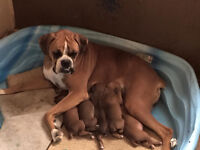 1/2 euro Champion sired fawn Boxer Puppies (updated oct 13)