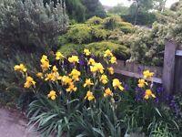 Yellow irises for sale