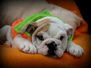 Top Quality Reg'd CH English and French Bulldog Pups