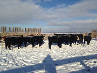 Bred replacement heifers