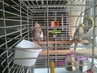 Cockatiels 1 male and 1 female