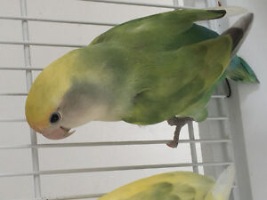 Young female Lovebird to trade for another lovebird