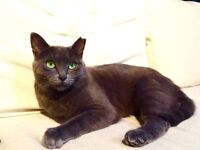 Beautiful Girl for Adoption. 1 year old Russian Blue mix.