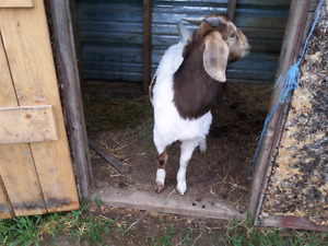 Young boer buckling for sale