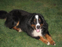 Beautiful BLACK and WHITE St. Bernese Puppies ONLY 4 AVAILABLE!!