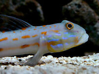Diamond watchmen goby / sand shifting goby (Large)