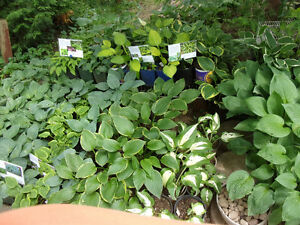 HOSTAS GALORE.....and lots more