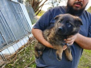 Ararat Area, VIC | Dogs & Puppies | Gumtree Australia Free