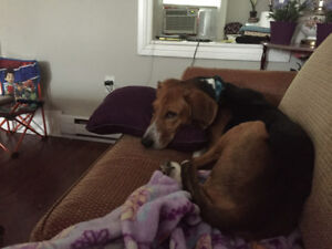 Loving beagle looking for a home