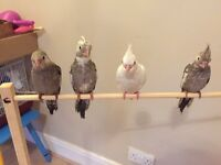 *reduced price*Super tamed cockatiels