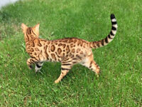 Bengal Kitty (Registered with TICA)