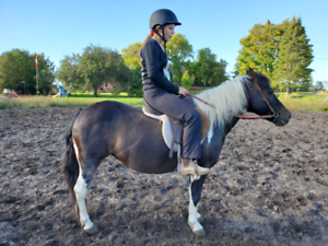 12 Hand Pony For Sale