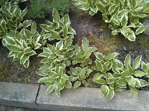 6 Healthy Hosta Plants For $20 Ready for your garden!
