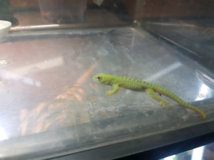 Giant day gecko baby