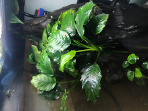 Live Aquariums Plants - Anubias