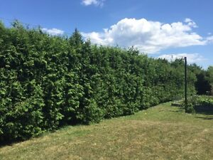 Professional hedge trimming and pruning Kingston Kingston Area image 5