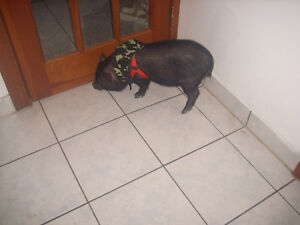 Little boy potbelly pig for sale