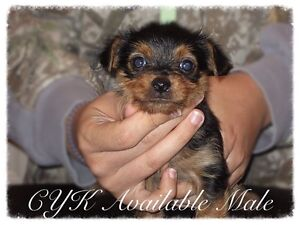 Caisteal's CKC Yorkshire terriers for sale