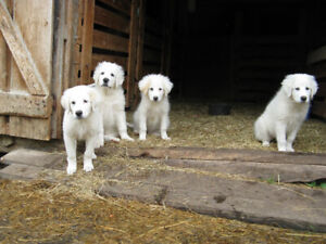 Two Livestock Guardian Puppies Ready Now