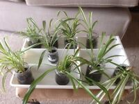 Spider plants in glass jars £1 each