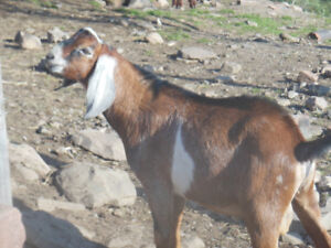 For sale: Nubian buck - brown w/ white patches