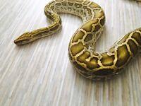 Hypo morph Burmese Python