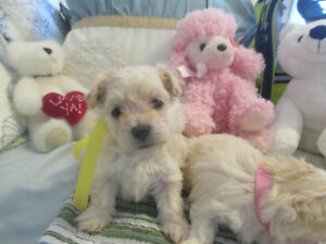 FEMALE MALTESE/POODLE PUPPY NO SHED & HYPOALLERGENIC