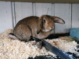 🐰Male giant lop rabbit bunny looking for loving homes