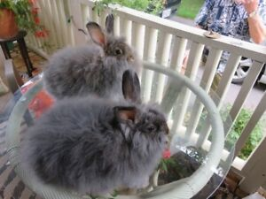 Angora Cross Rabbits