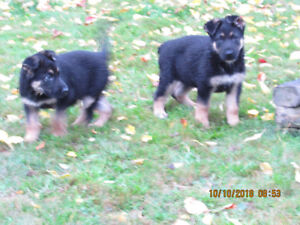 German Shepherds for sale, Pups and adults