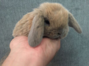 Adorable and very sweet baby Holland Lop bunnies!