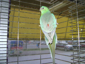 Red-Rumped Parakeets