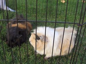 Needing to find a new home for our 2 Guinea pigs  Strathcona County Edmonton Area image 2